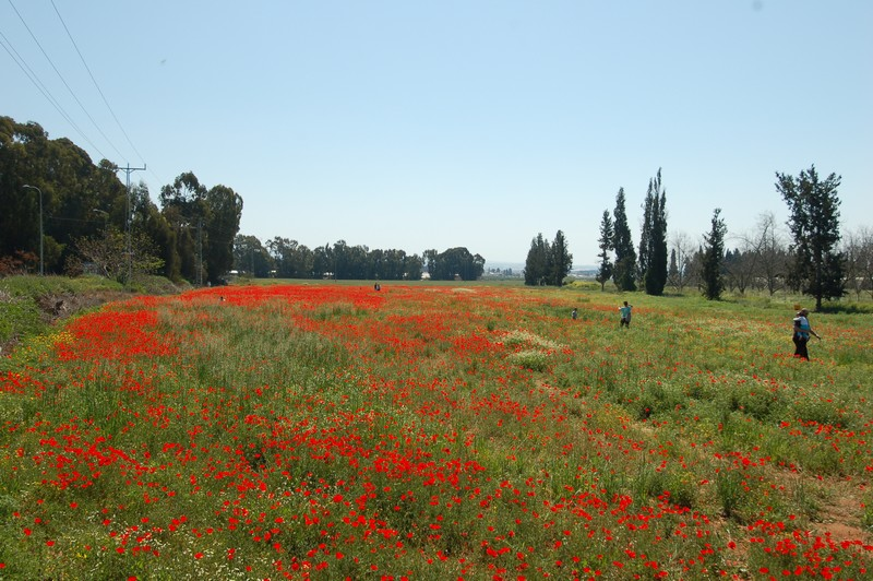 שדה פרגים במלוא פריחתו, עוד כמה ימים יעלם - צילם גיל אורן